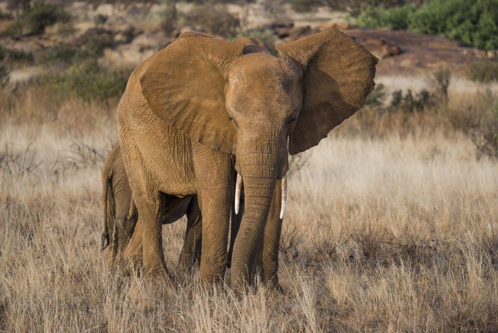 elephants_Frank af Petersens