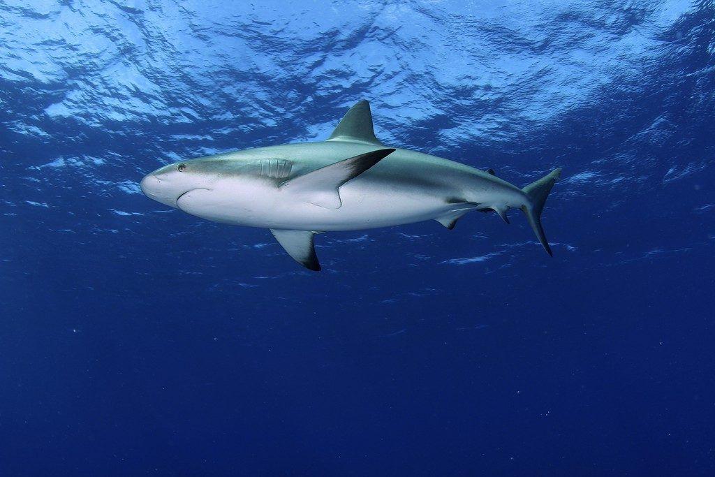 Shark MAR 3