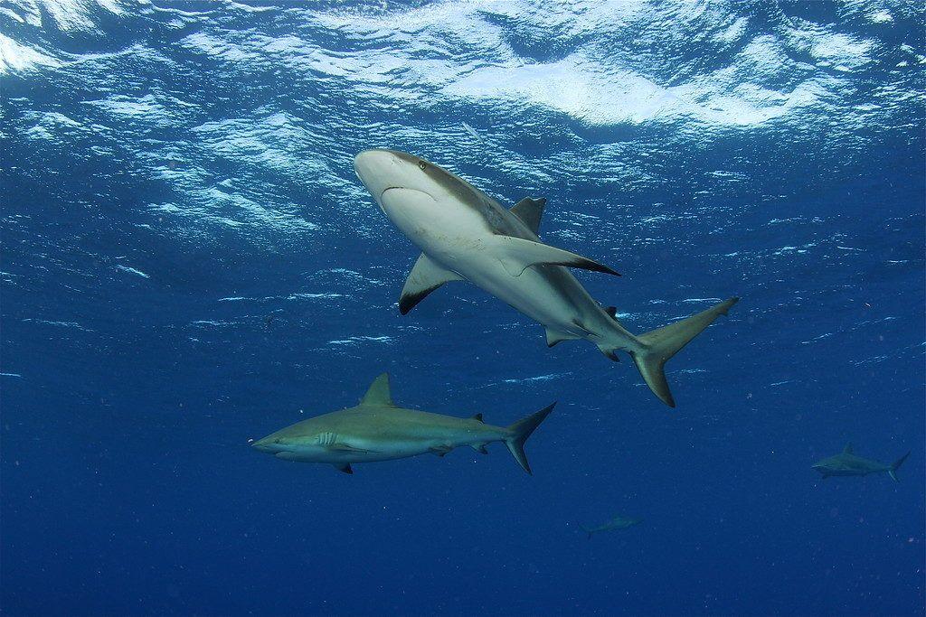 Sharks MAR