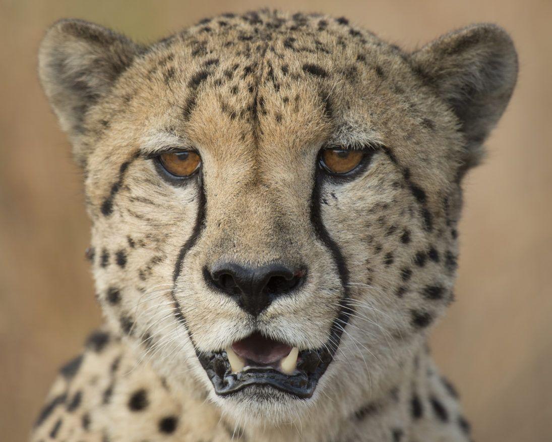 Cheetah_JonMcCormack