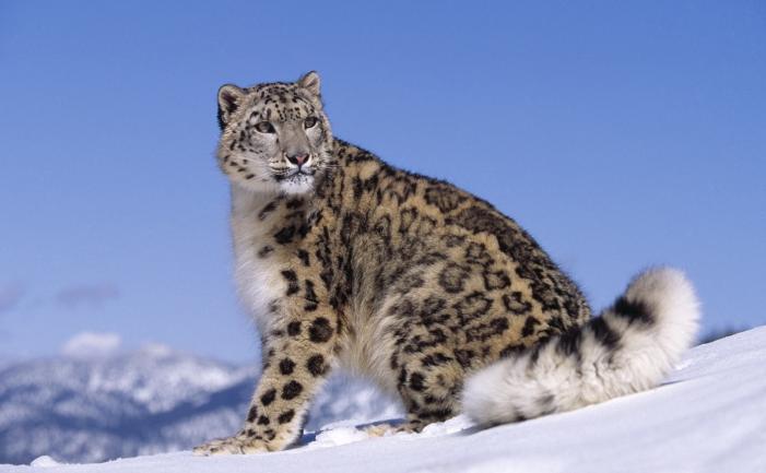 snow leopard_Ron Kimball