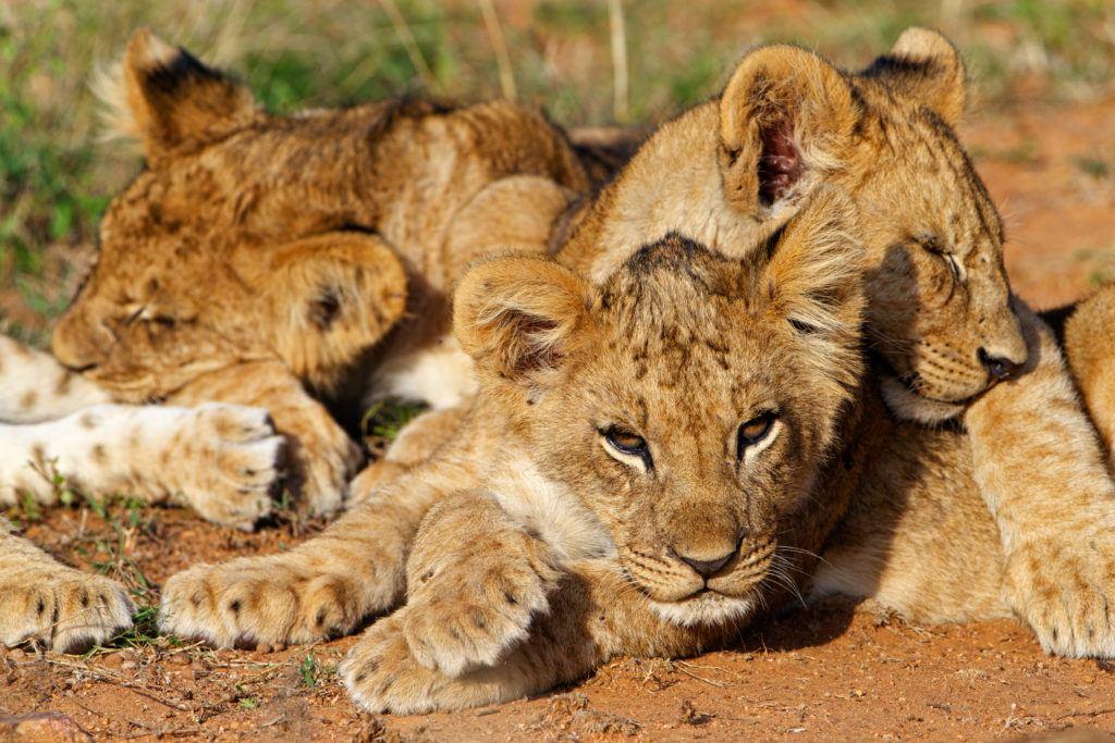 lion cubs_Susan McConnell (13)