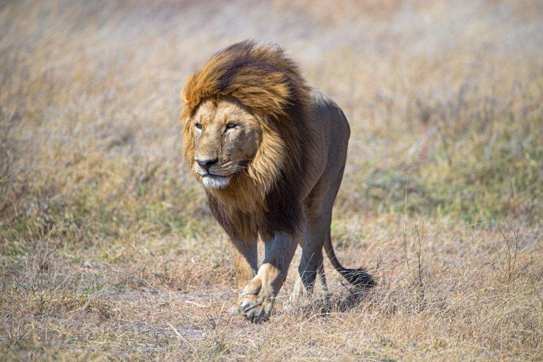 maned lion_SueMcConnell_J7I7805-Edit