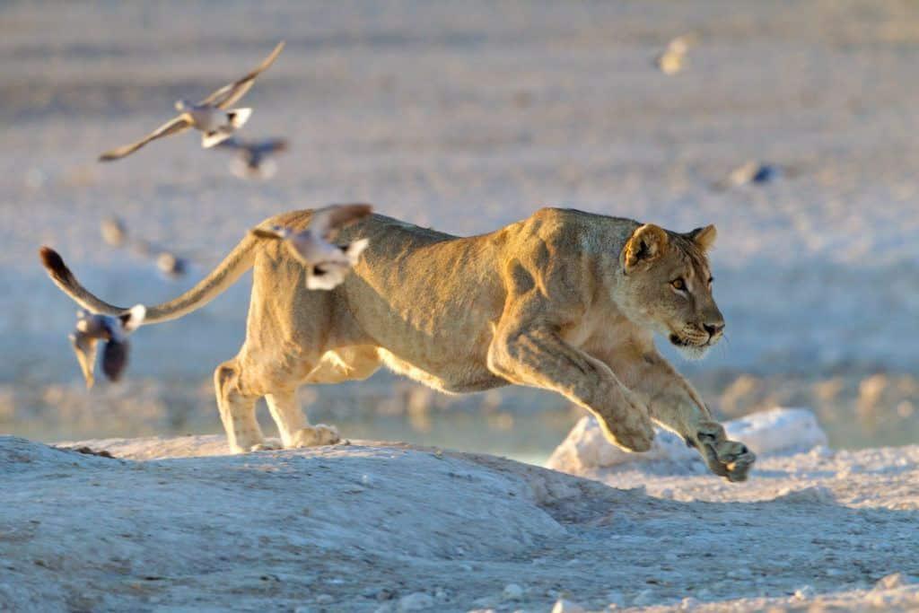 Desert lion running