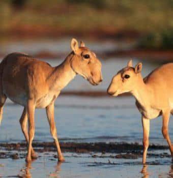Saiga Antelopes Decimated by Mysterious Disease