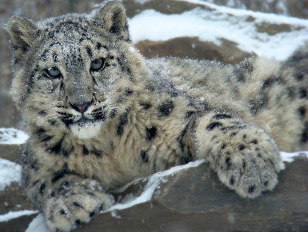 ©Eric Ash - Snow Leopard - Mountain Conquerer