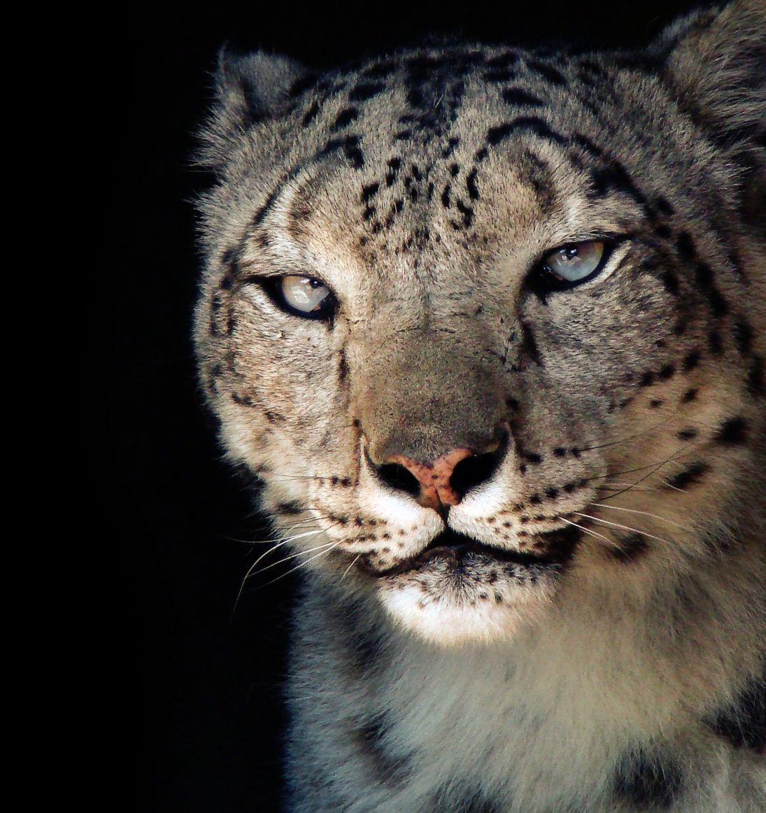 ©Eric Ash - snow leopard -Karma Portrait cropped