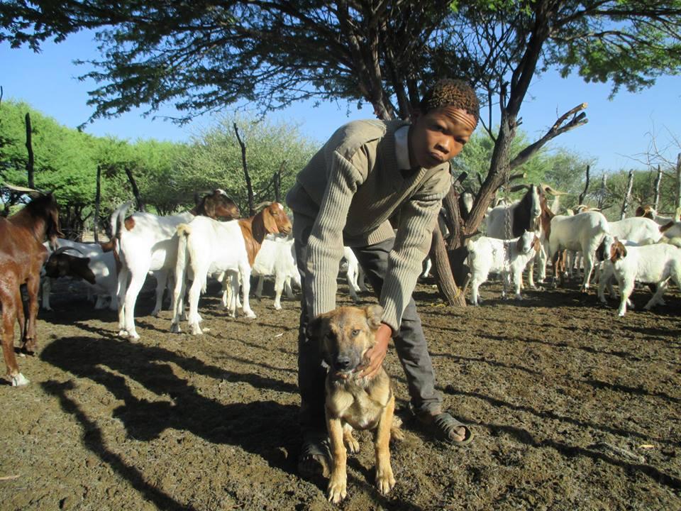 CCB_highlight image_livestock_guarding_dog