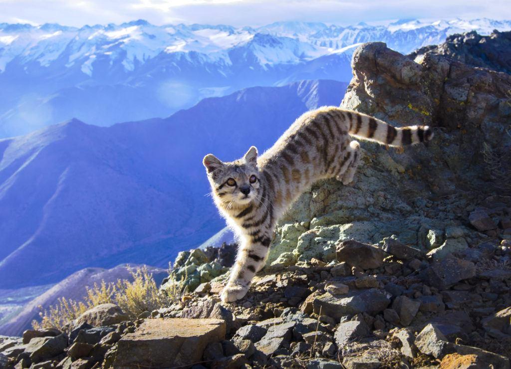 Andean Cat_Credit Cristian Sepulveda C._AGAjpg