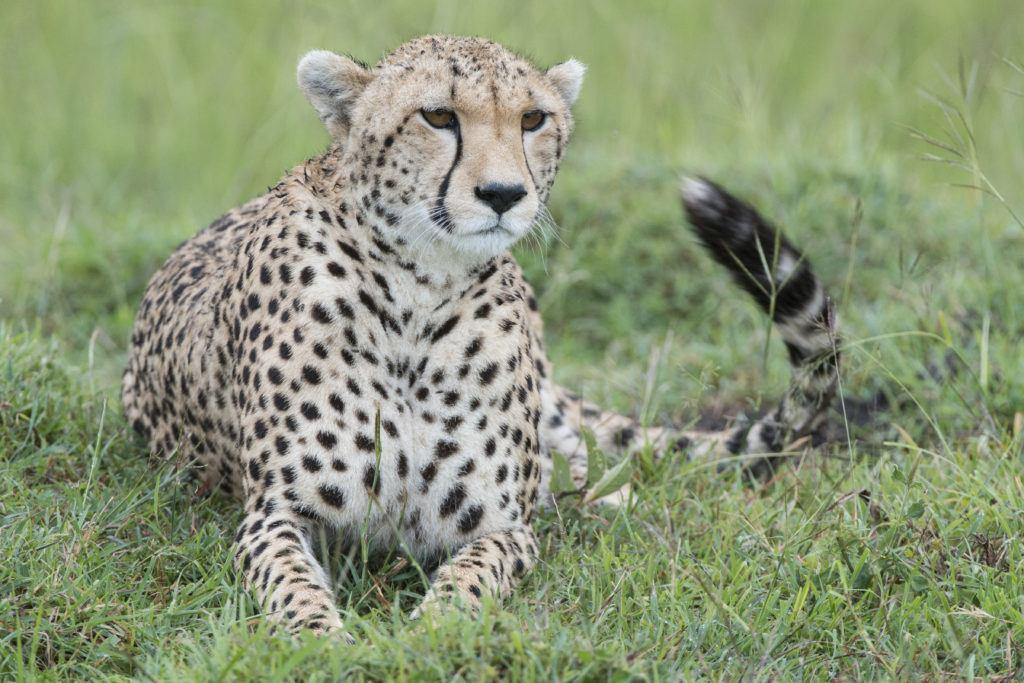 Cheetah_Jon McCormack