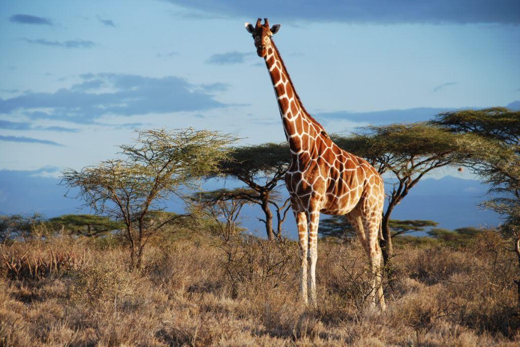 giraffe_© Julian Fennessy, GCF