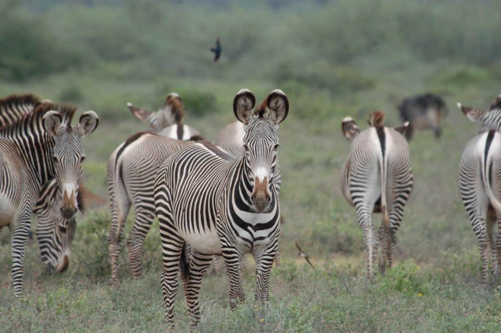 Grevy's zebra_Jeff Bonner