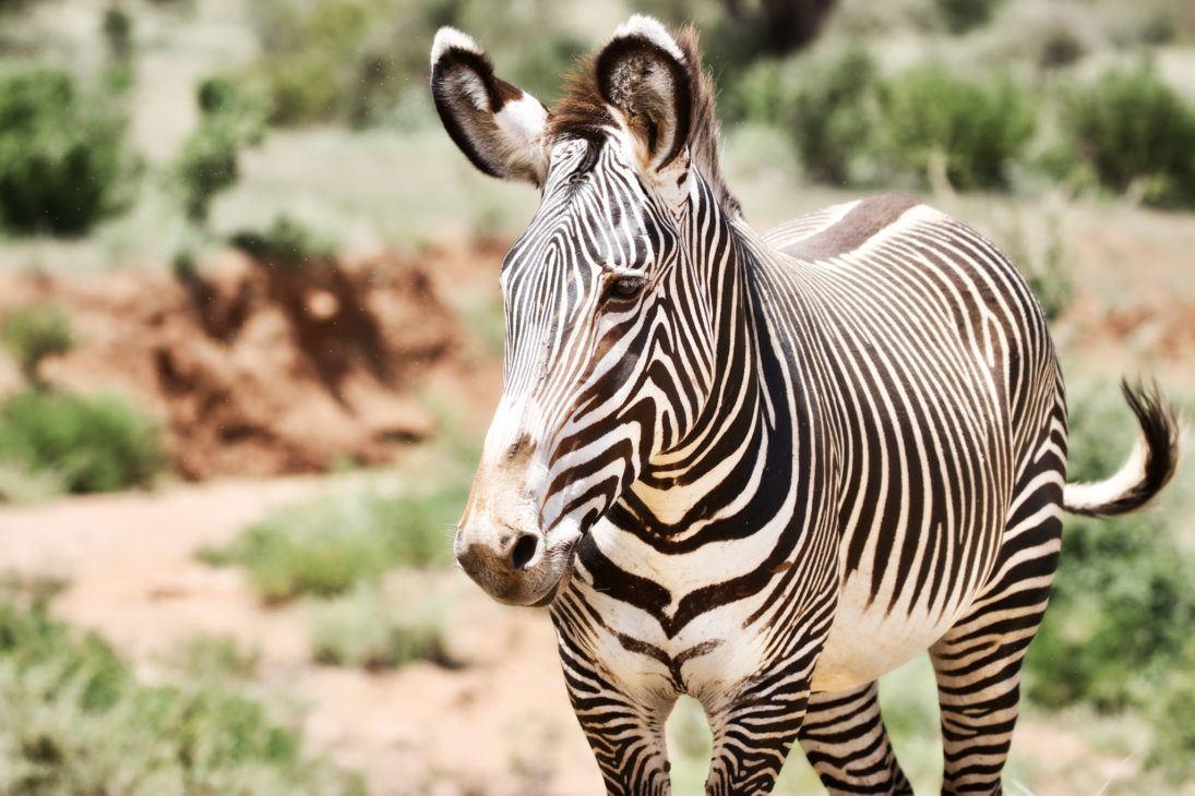 Jillian Knox_Grevys Zebra_308-fullsizeoutput_ce34