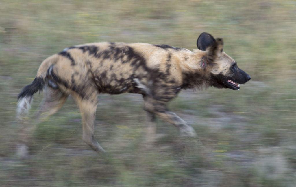 Jon McCormack_painted dog_Botswana-Mombo-DSC8792