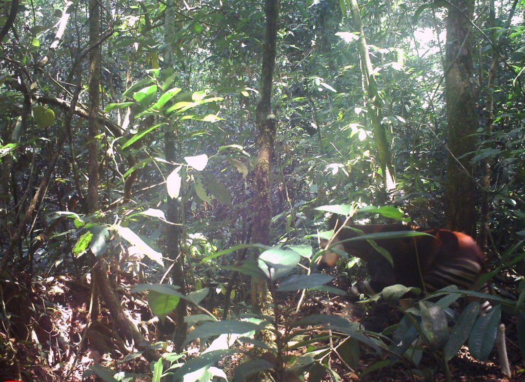 okapi habitat