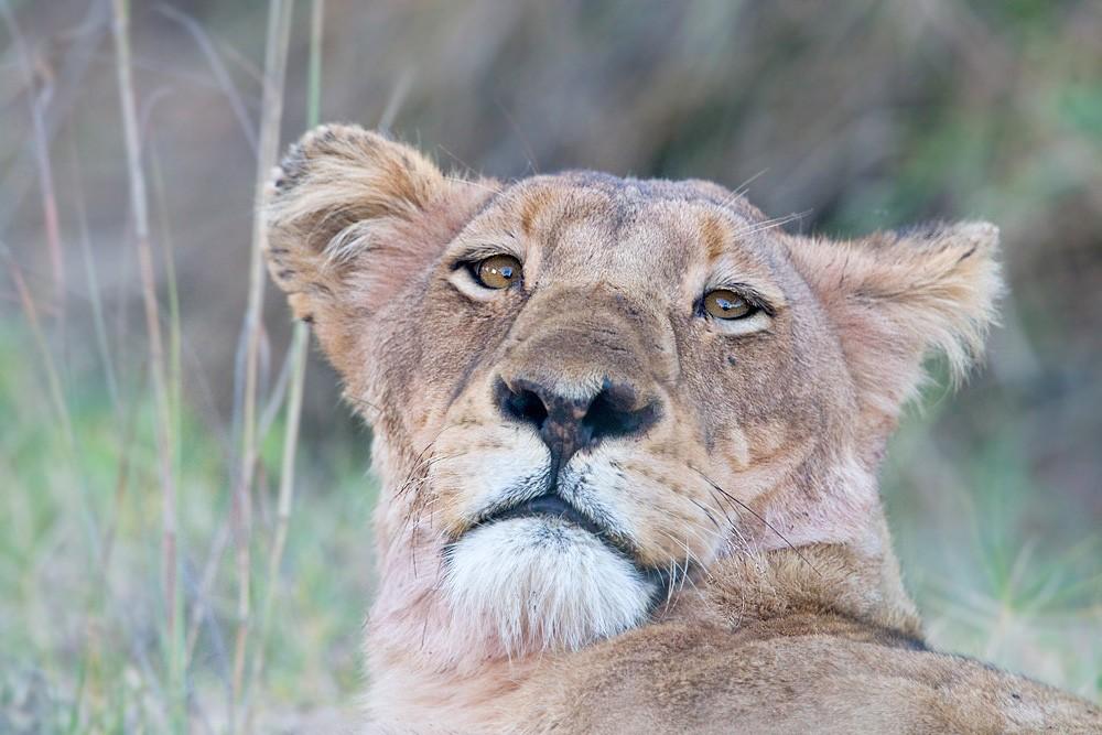 Steve Mandel lioness looking