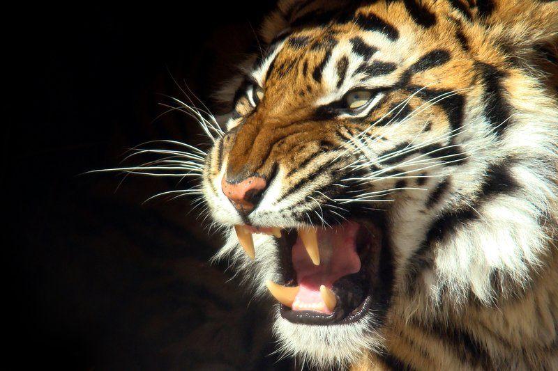 Tiger teeth- Eric Ash