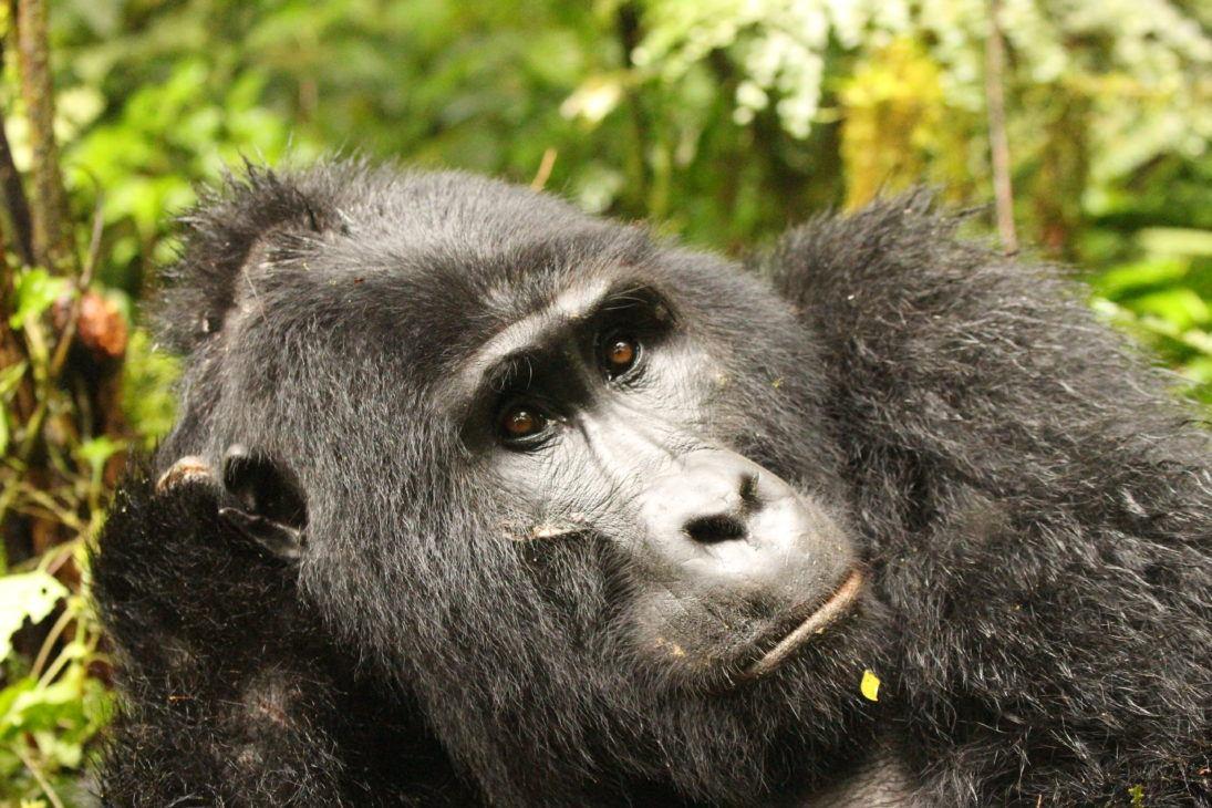 gorilla_Peter Lindsey