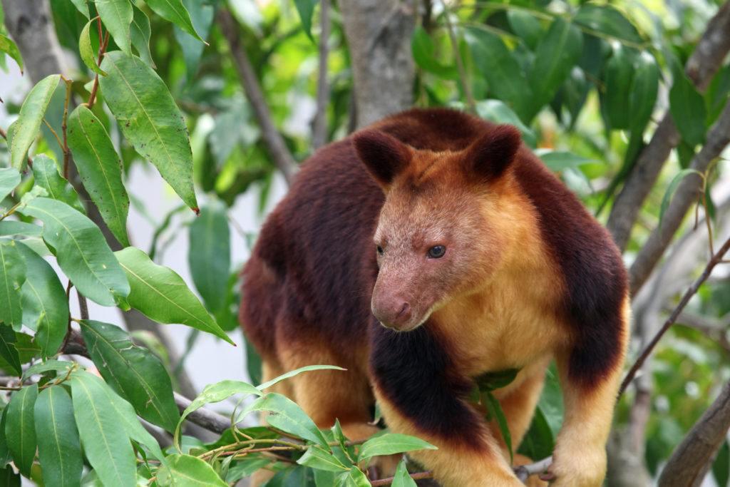 ree Kangaroo_ photo David Lochlin