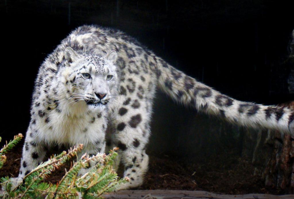 ©Eric Ash - Snow Leopard - Rain Leopard_flipped