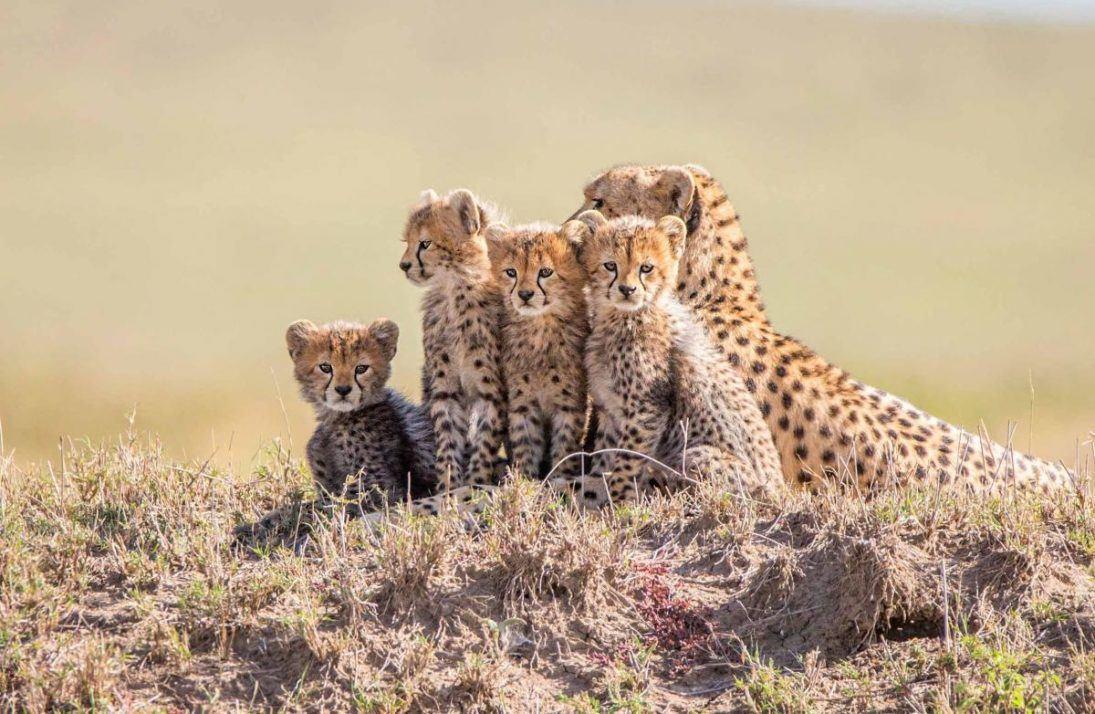 Cheetahs_photo_credit_Steve Mandel