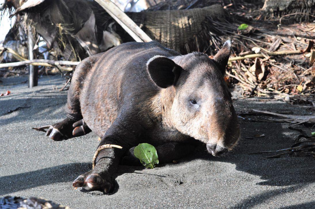 tapir_Marina Rivero_WCN_Scholar_2018