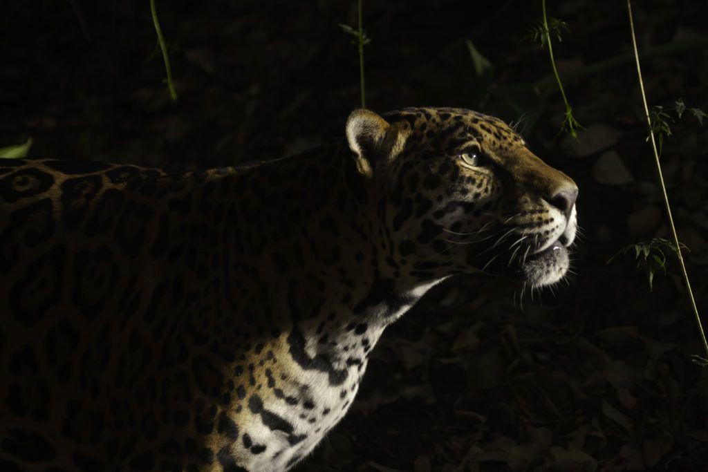 Jaguar_Lucero Maria del Carmen Vaca Leon_WCN_Scholar_2018