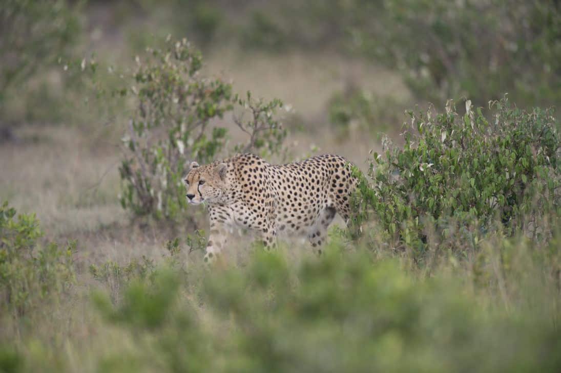 cheetah_Jon McCormack_DSC2365