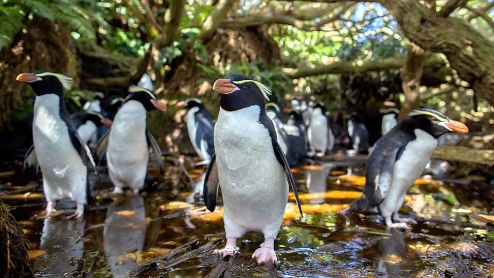 fiordland crested penguin_GPS_New Zealand