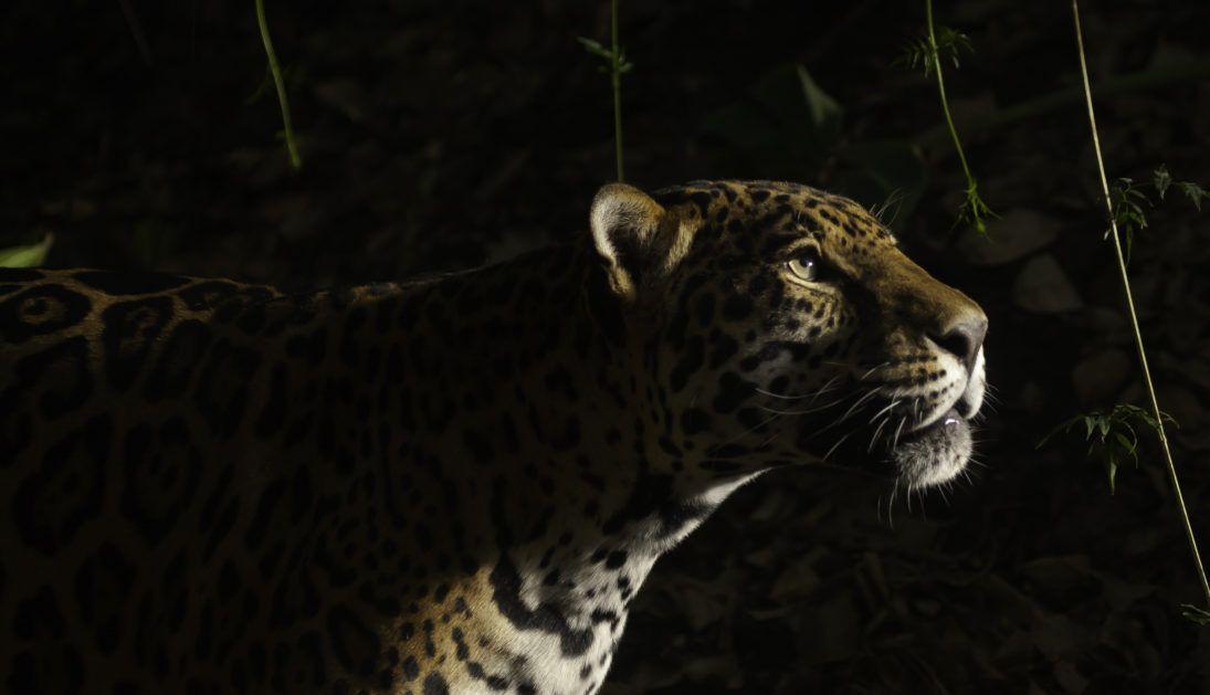 Jaguar_45