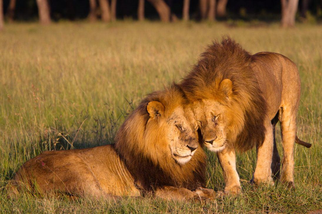 lions_photo_Jack Swenson
