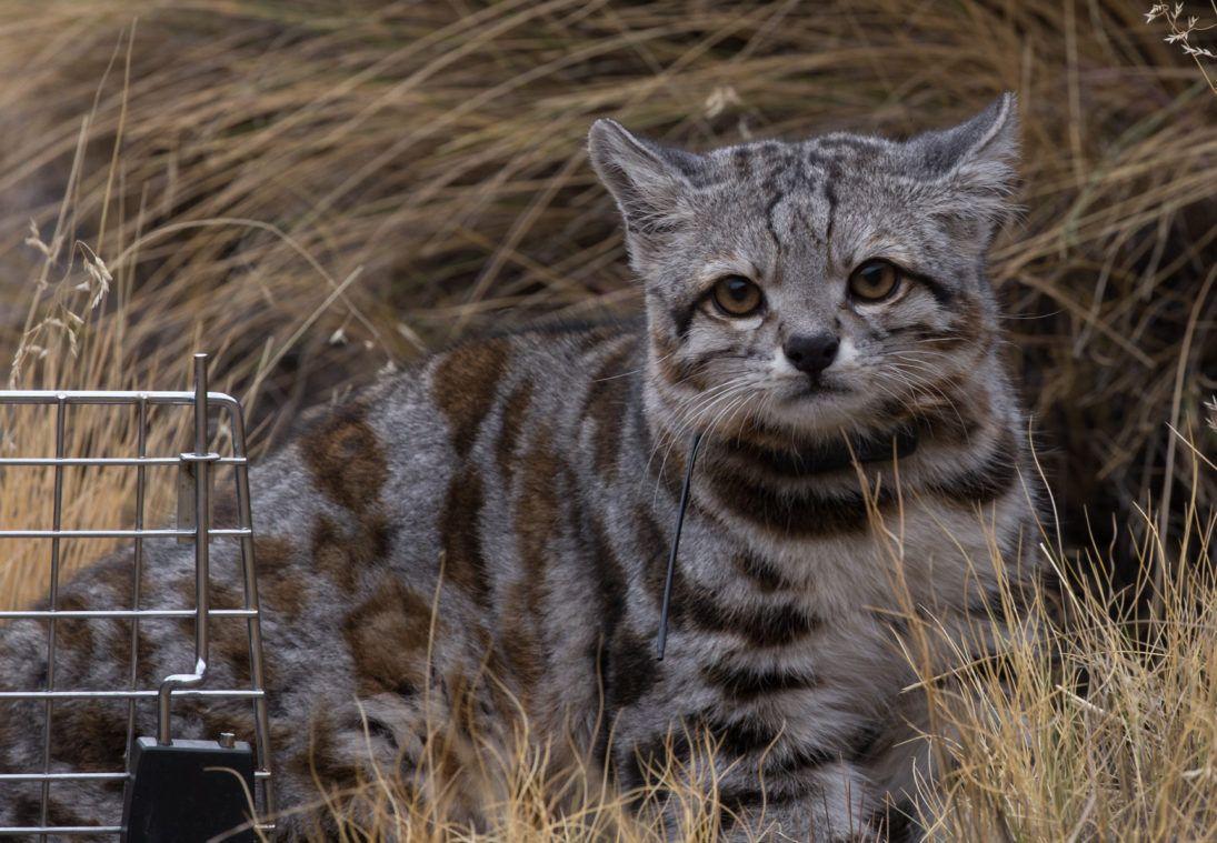 no watermark_andean cat_Jacobo free Juan Reppucci AGA