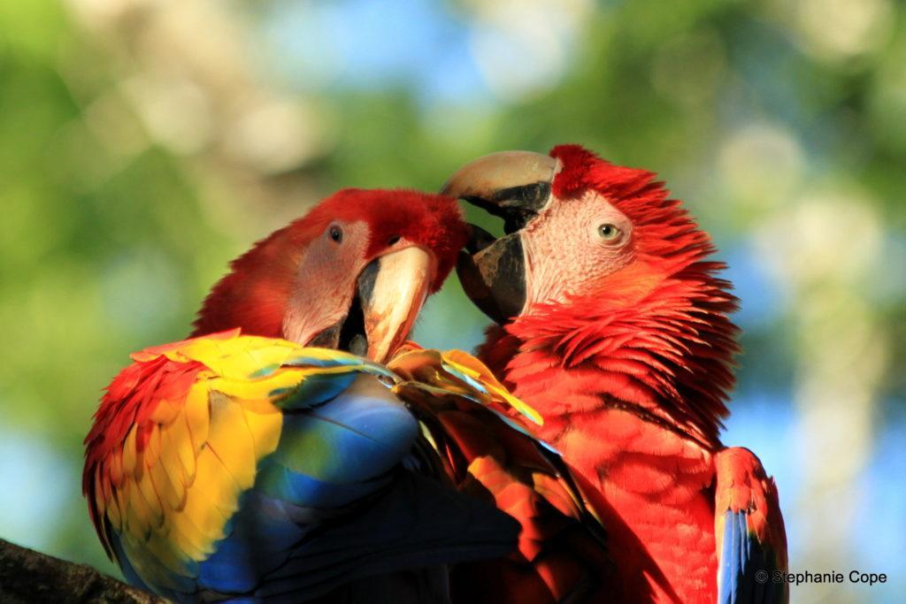 scarlett macaw_Pair preening_the Ara Project