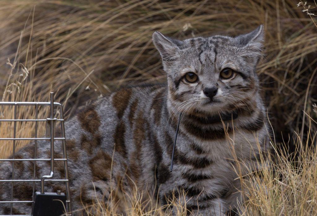 Andean Cat_cropped_Jacobo free Juan Reppucci AGA