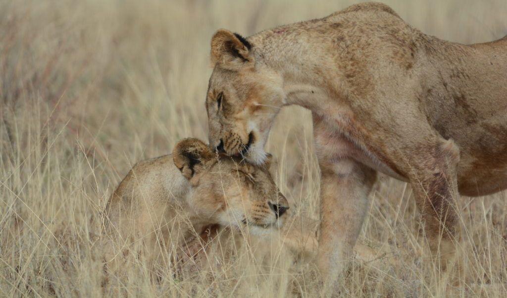 Ewaso Lions_2 lions_crop