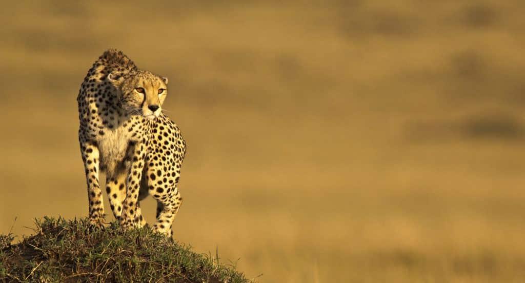cheetah_Ken and Michelle Dyball