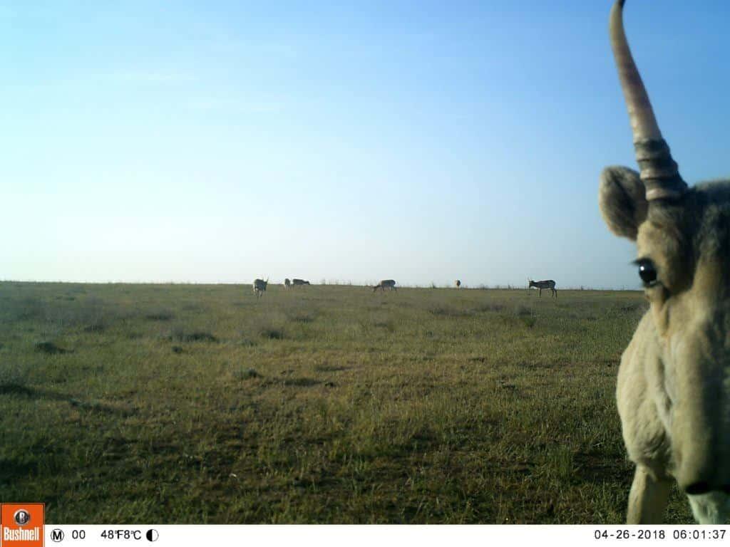 A camera trap captures a saiga antelope look right at it.