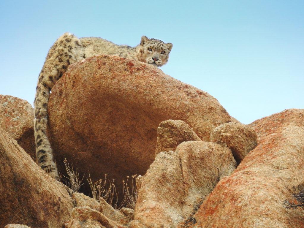 snow leopard on rock