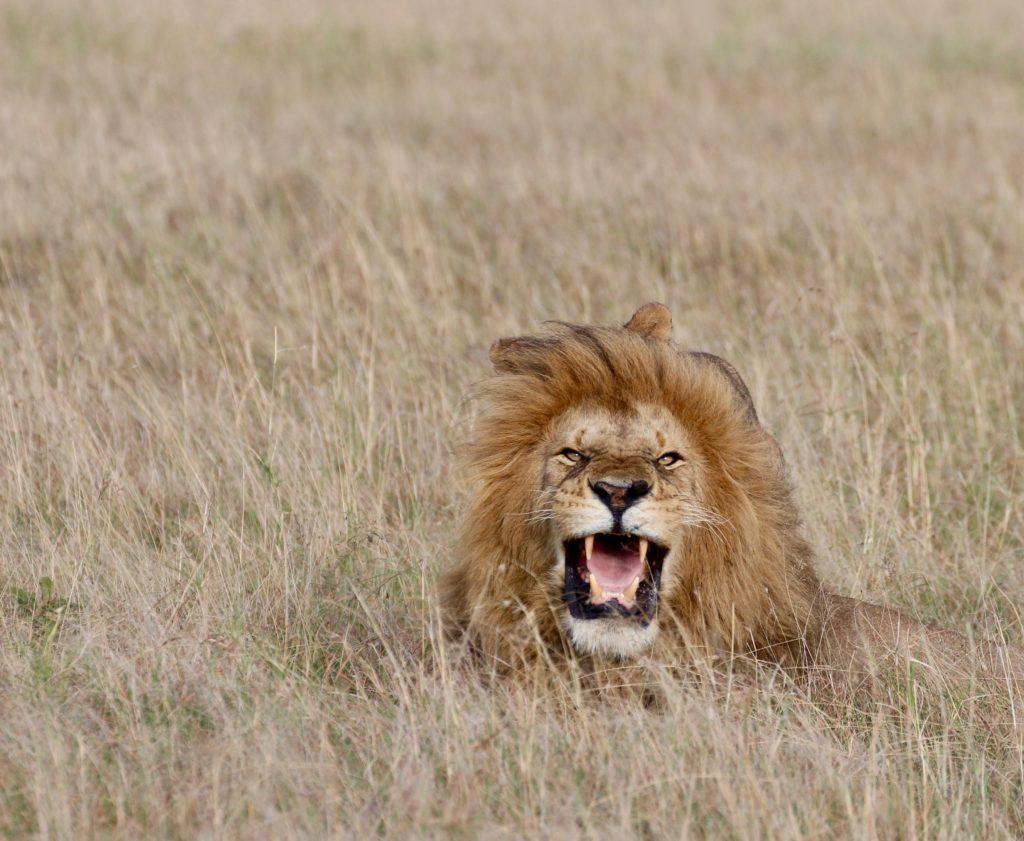 A lion roaring