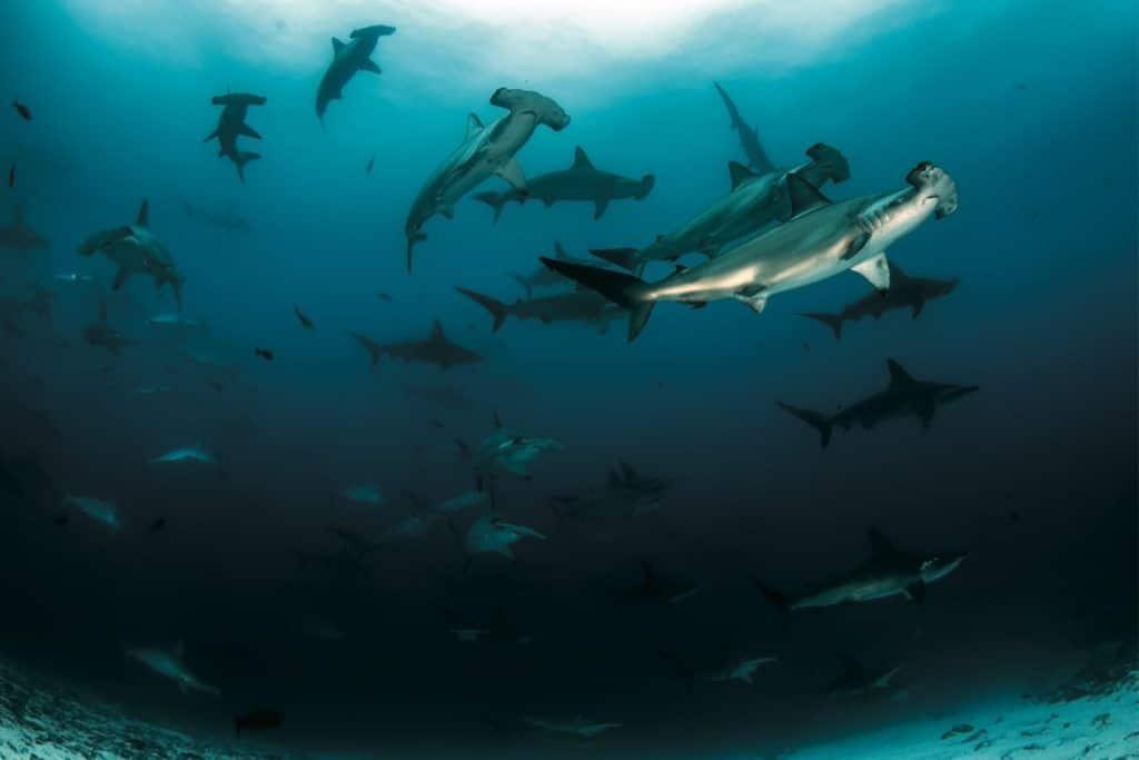hammerhead sharks