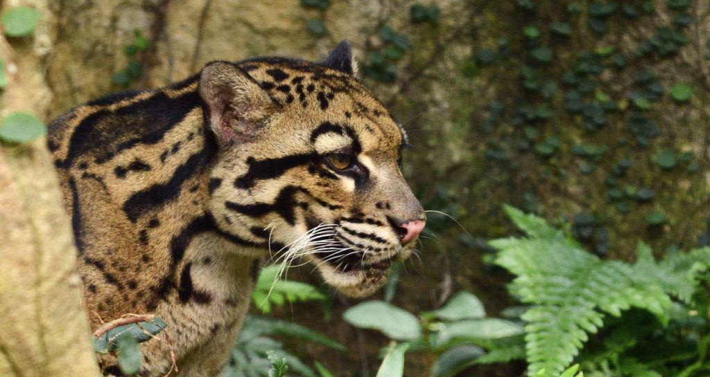 cloudedleopard-2
