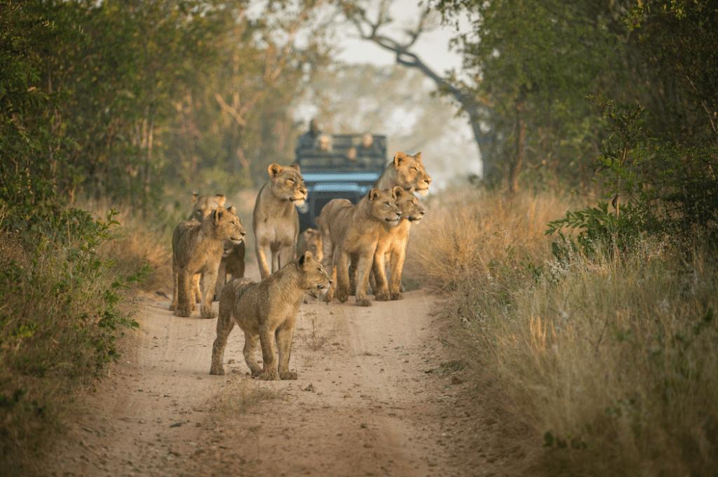 lions_credit Singita