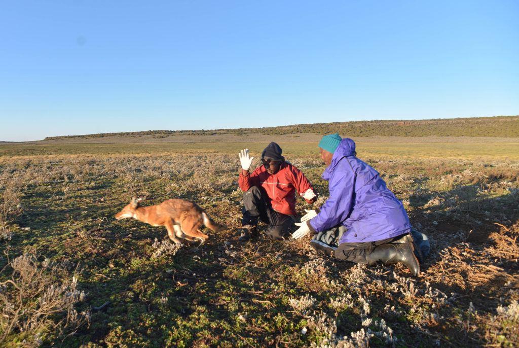 Muktar releasing vaccinated wolf