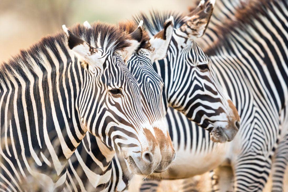 Grevy's zebra herd, Samburu National Reserve