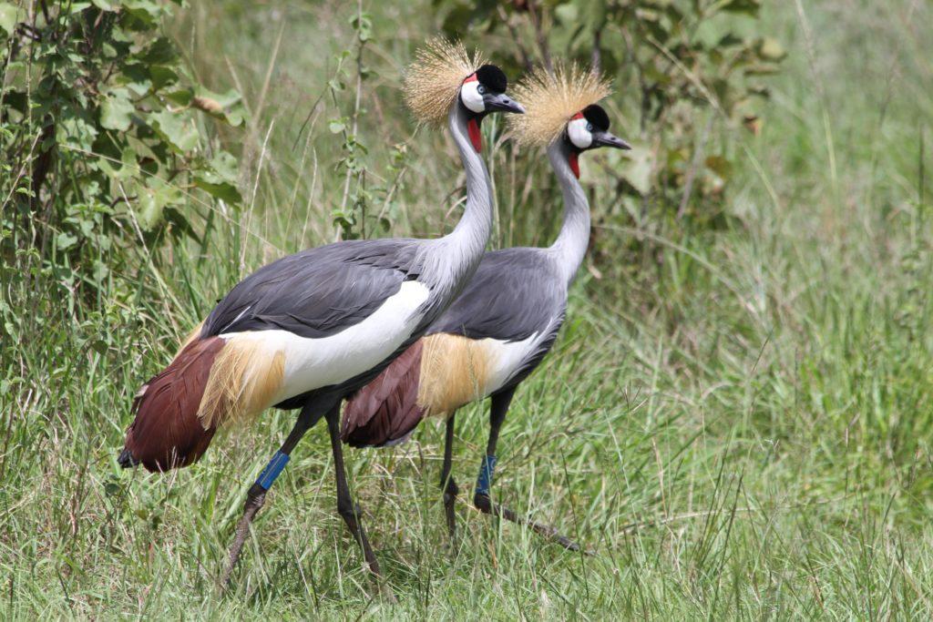 Grey Crowne Cranes_credit Olivier Nsengimana