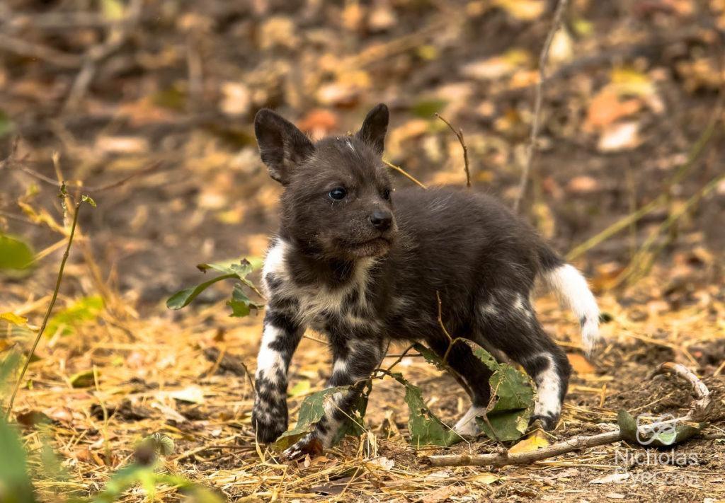 puppy-pdc-nicholasdyer