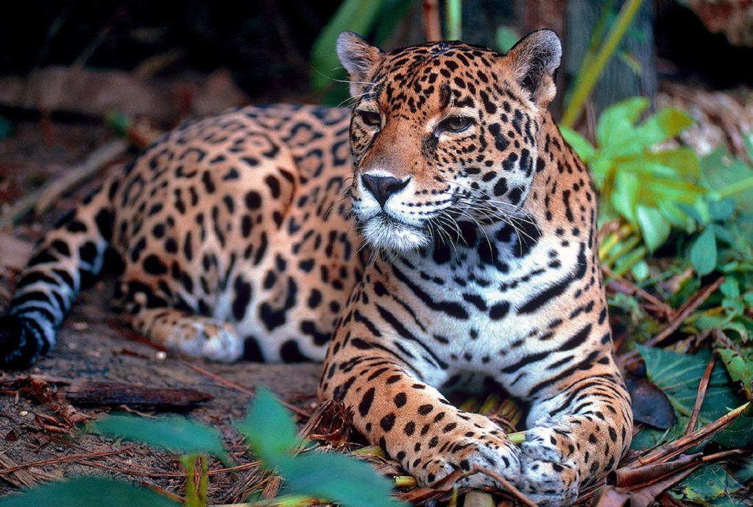 Canva - Big Jaguar in the Wild