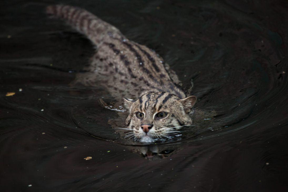 Fishing cat (Prionailurus viverrinus).
