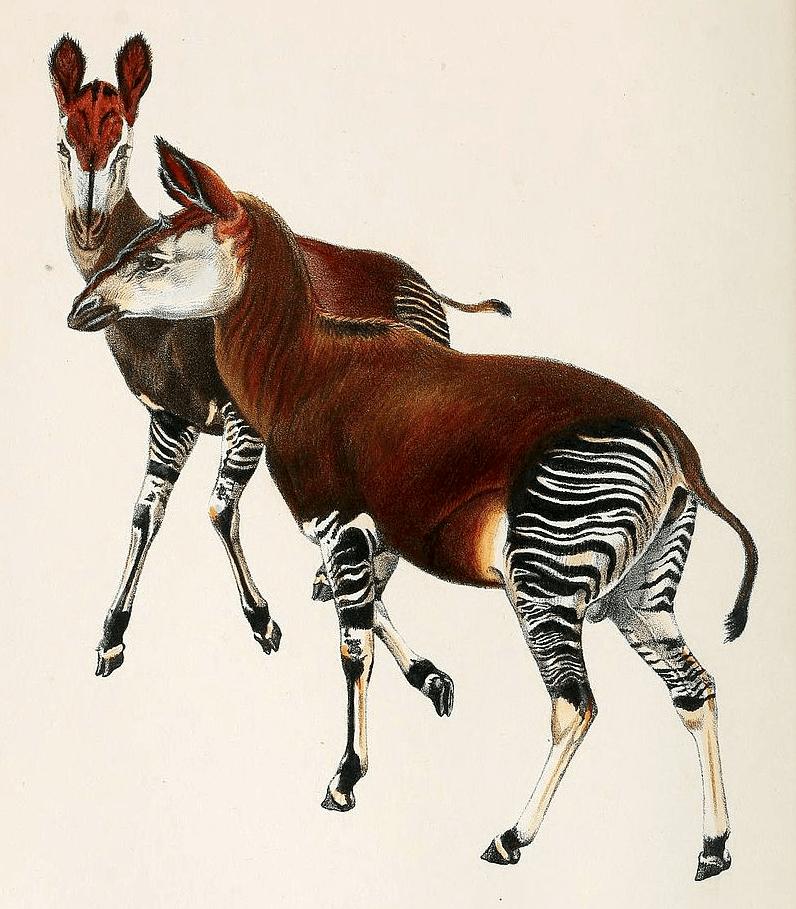 illustration of okapi