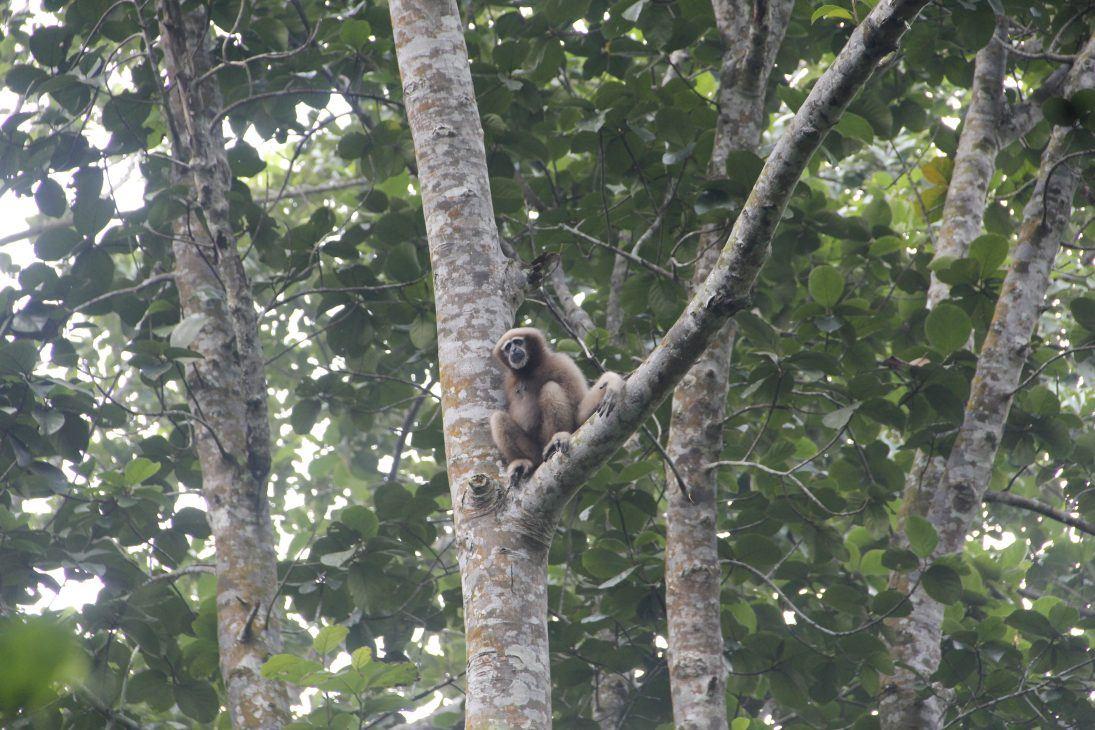 western hoolock gibbon - tarik kabir